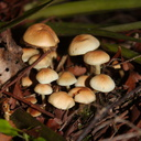 ochre-mushrooms-Hatea-River-Walk-Parihaka-Reserve-2015-10-02-IMG 1724