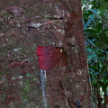 red-exposed-kauri-bark-Hatea-River-walk-Parihaka-2017-05-22-IMG 8337