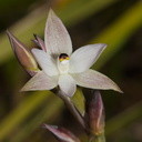 Thelymitra-longifolia-orchid-Smugglers-Cove-2015-11-23-IMG 2711