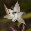 Thelymitra-longifolia-orchid-Smugglers-Cove-2015-11-23-IMG 2721