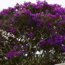 Tibouchina-blooming-Beach-Rd-Onerahi-2017-05-07-IMG 8235