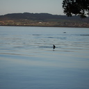 dolphins-in-estuary-Whangarei-Channel-2015-09-27-IMG 1559