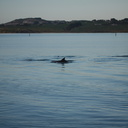 dolphins-leaping-in-estuary-Whangarei-Channel-2015-09-27-IMG 1568
