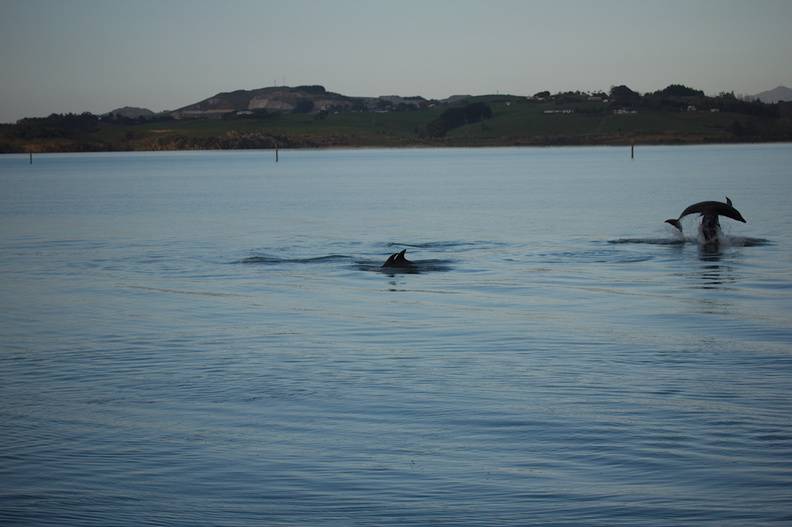 dolphins-leaping-in-estuary-Whangarei-Channel-2015-09-27-IMG_1569.jpg