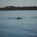 dolphins-leaping-in-estuary-Whangarei-Channel-2015-09-27-IMG 1569