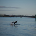dolphins-leaping-in-estuary-Whangarei-Channel-2015-09-27-IMG 1576