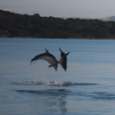 dolphins-leaping-in-estuary-Whangarei-Channel-2015-09-27-IMG 1580 v2