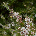 native-bee-on-manuka-Leptospermum-flowers-Smugglers-Cove-2015-11-23-IMG 6400