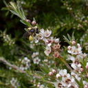 native-bee-on-manuka-Leptospermum-flowers-Smugglers-Cove-2015-11-23-IMG 6402