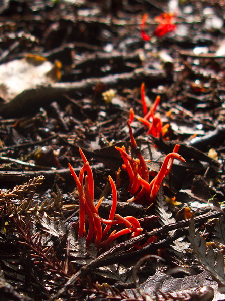 red-coral-fungus-Coronation-Reserve-Whangarei-18-07-2011-IMG 9335