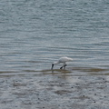 spoonbill-estuary-Beach-Road-Onerahi-Whangarei-Channel-2015-09-30-IMG 1691