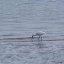 spoonbill-estuary-Beach-Road-Onerahi-Whangarei-Channel-2015-09-30-IMG 5544