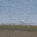 spoonbill-estuary-Beach-Road-Onerahi-Whangarei-Channel-2015-09-30-IMG 5551 v2