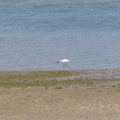 spoonbill-estuary-Beach-Road-Onerahi-Whangarei-Channel-2015-09-30-IMG 5558