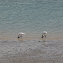 spoonbills-at-Beach-Rd-Onerahi-2015-11-26-IMG 2751