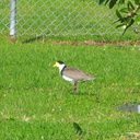 spur-winged-plover-in-field-at-municipal-dump-station-Whangarei-15-07-2011-IMG 9264