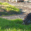 turkeys-at-roadside-Peach-Cove-trail-Bream-Head-17-07-2011-IMG 9322