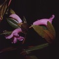 Rhododendron-dielsianium2-Gumine-PNG-no-date-083