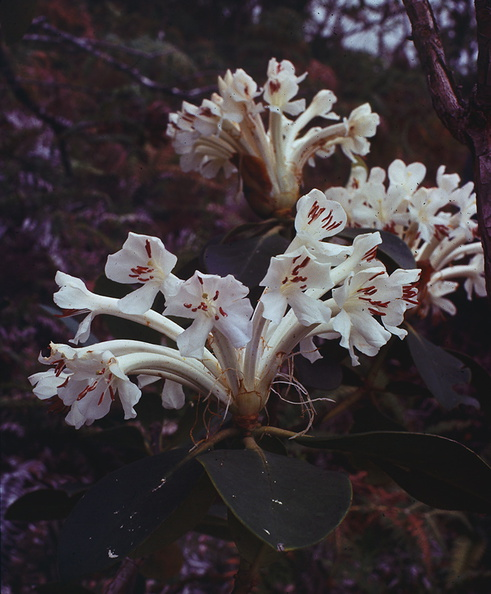 Rhododendron-goodenoughii-Goodenough-Island-PNG-1977-128.jpg