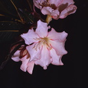 Rhododendron-konori-1-Gumine-PNG-1975-085