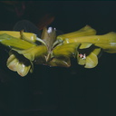 Rhododendron-pachycarpon-Finisterre-Mts-PNG-1976-107