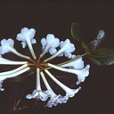 Rhododendron-pleianthum-Bulldog-Rd-PNG-1976-043