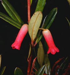 Rhododendron-purpuriflorum-Bulldog-Rd-PNG-1975-090