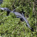 alligator juvenile Lafitte Louisiana