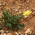 Oenothera-xylocarpa-Sunrise-Point-Bryce-2005-07-25
