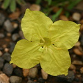 Oenothera-xylocarpa-Sunrise-Point-Bryce-5-2005-07-25