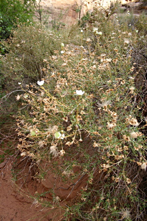 apache-cliff-rose-3-Capitol-Reef-2005-07-23