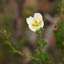 apache-cliff-rose-4-Capitol-Reef-2005-07-23