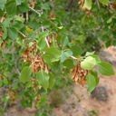 ash-fruits-Capitol-Reef-2005-07-23