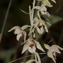 Epipactis-sp-orchid-near-cottage-Door-County-2016-08-08-IMG 3406