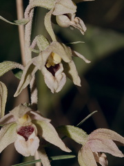 Epipactis-sp-orchid-near-cottage-Door-County-2016-08-08-IMG 3406 v2