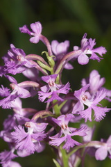 Platanthera-psycodes-lesser-purple-fringed-orchid-streamside-Amberg-Wisconsin-2012-07-17-IMG 6244