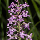 Platanthera-psycodes-lesser-purple-fringed-orchid-streamside-Amberg-Wisconsin-2012-07-17-IMG 6246