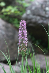 Platanthera-psycodes-lesser-purple-fringed-orchid-streamside-Amberg-Wisconsin-2012-07-17-IMG 6251
