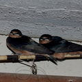 barn-swallows-Janes-farm-New-Holstein-2016-08-13-IMG_3468.jpg