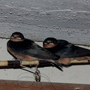 barn-swallows-Janes-farm-New-Holstein-2016-08-13-IMG 3468