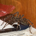 wolf-spider-largish-Wisconsin-2012-07-16-IMG 6232