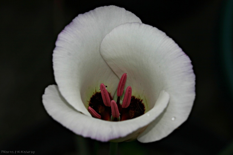 calochortus_catalinae_unfurling_top_angle_img_3736enh_scale.jpg