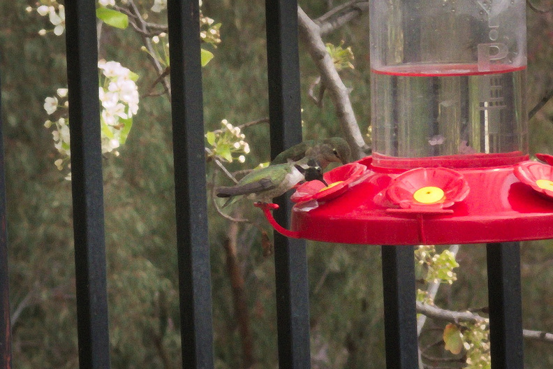 Costas-hummingbird-at-feeder-2015-01-30-IMG_4382a.jpg