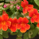 Mimulus red1