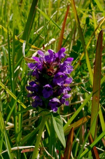 Prunella-vulgaris-selfheal-at-the-eyrie-2018-09-29-IMG 8764