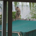 bobcat-and-her-three-kits-in-back-garden-Moorpark-2015-05-05-IMG 0614