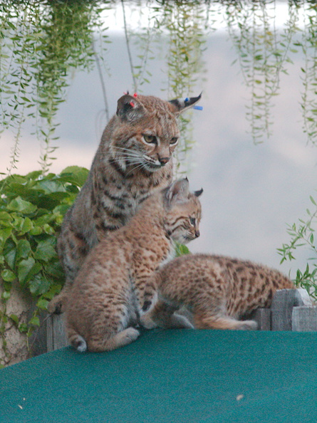 bobcat-and-her-three-kits-in-back-garden-Moorpark-2015-05-09-IMG_0692.jpg