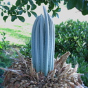 cycad-flush-of-new-leaves-Thousand-Oaks-2014-05-16-IMG 3624a