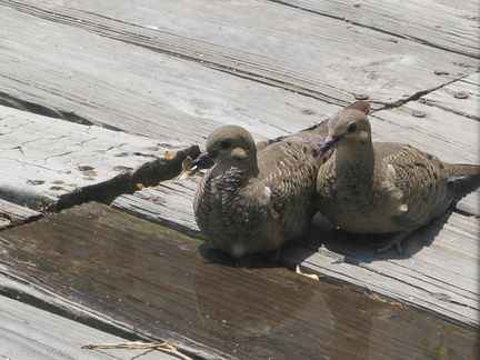 dove-pair-resting-on-deck-2008-07-16-img 0269
