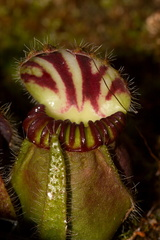 Cephalotus-follicularis-West-Australian-pitcher-plant-Matt-Sikra-2009-11-07-CRW 8355
